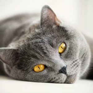 У кошки тромбоэмболия
